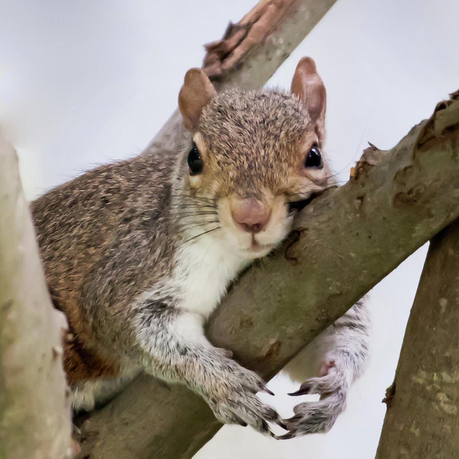 Tree Hugger Squirrel Photograph