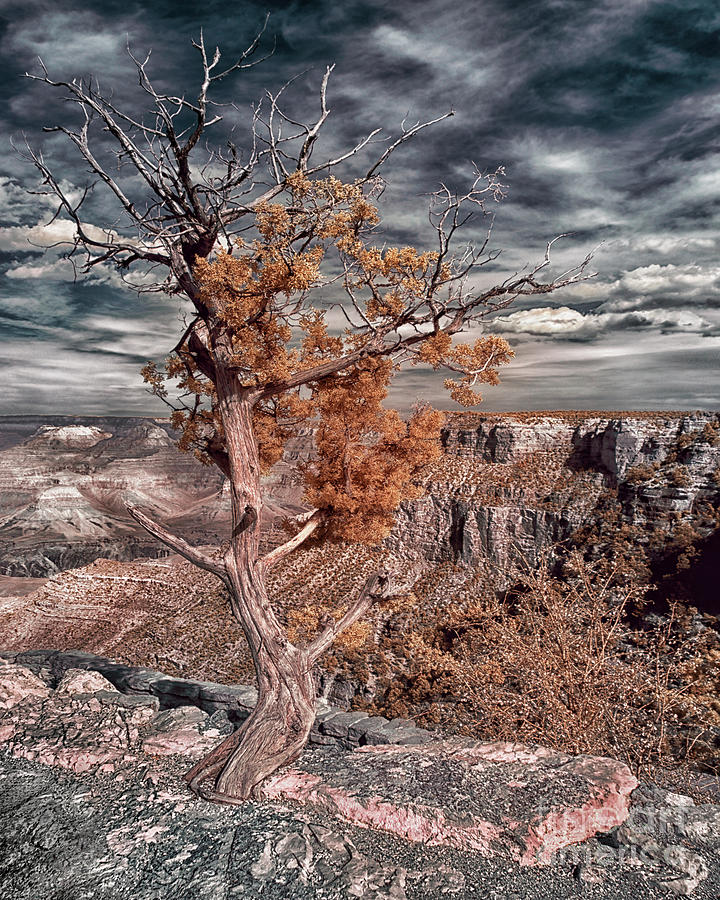 Tree In Grand Canyon Infrared Photograph
