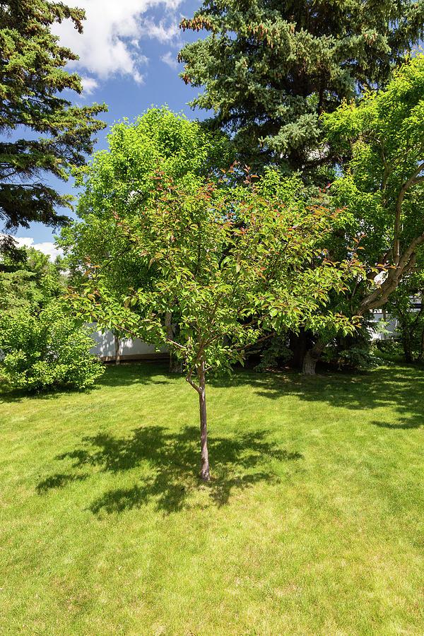 Tree in the Garden by Tom Buchanan