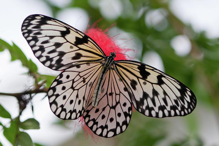 Tree Nymph Butterfly Photograph by Reyaz Limalia