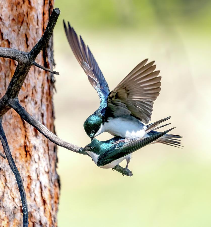 Tree Swallow Love by Judi Dressler