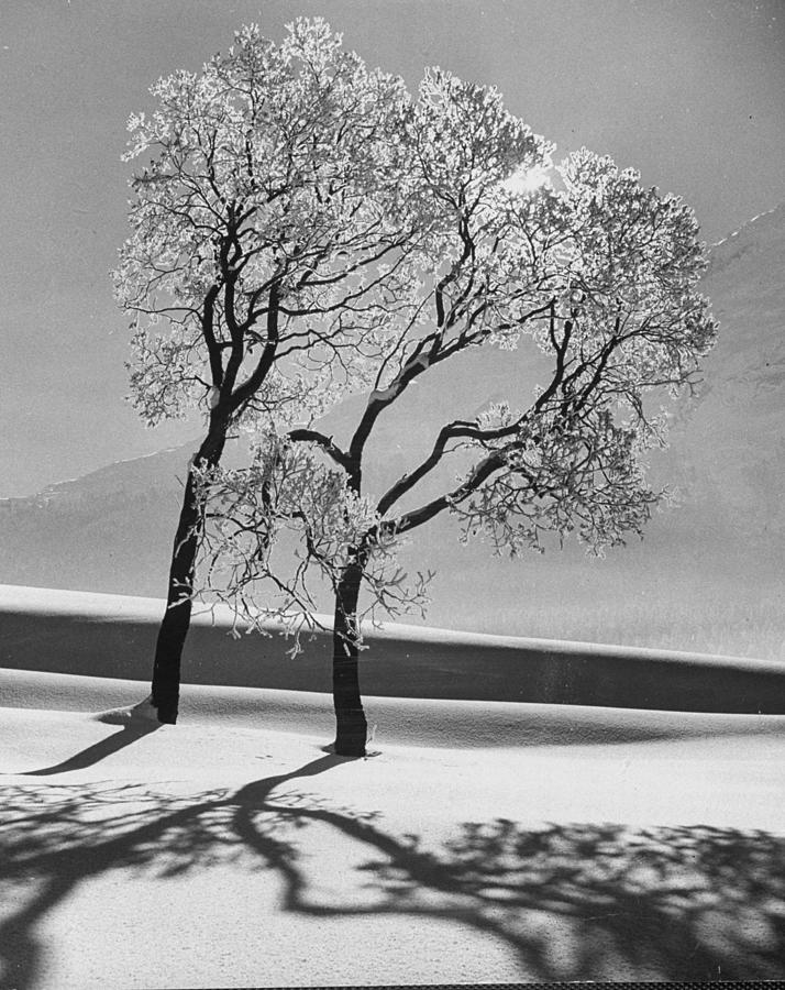 Trees In The Snow.  Photo By Alfred Eis Photograph by Alfred Eisenstaedt