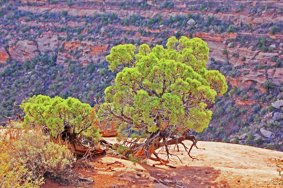 Trees Plateau Valley Colorado National Monument 2871 Photograph by David Frederick
