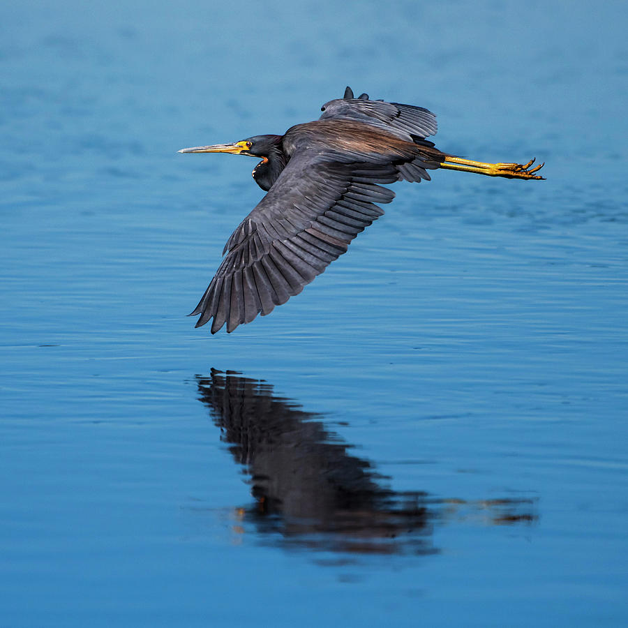 Tri-colored Heron in Flight by Ken Stampfer
