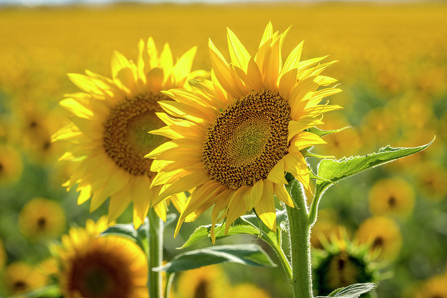 Tribute to Sunflowers by Teri Virbickis