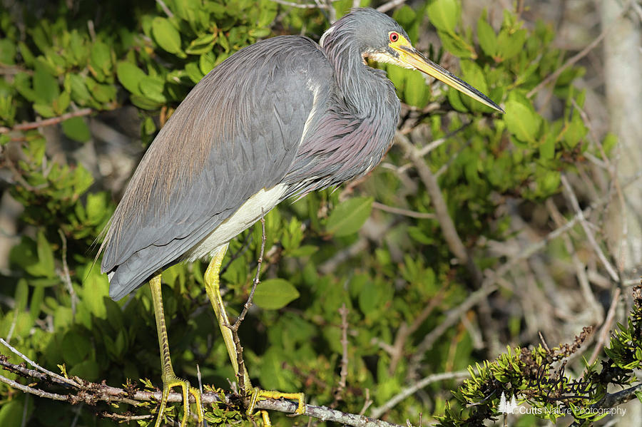 Tricolored Heron Photograph by David Cutts