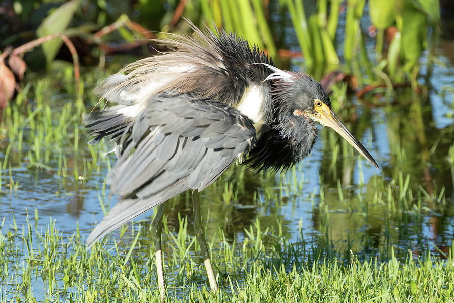 Tricolored Heron Photograph - Tricolored Heron With Ruffled Feathers by Darrell Gregg