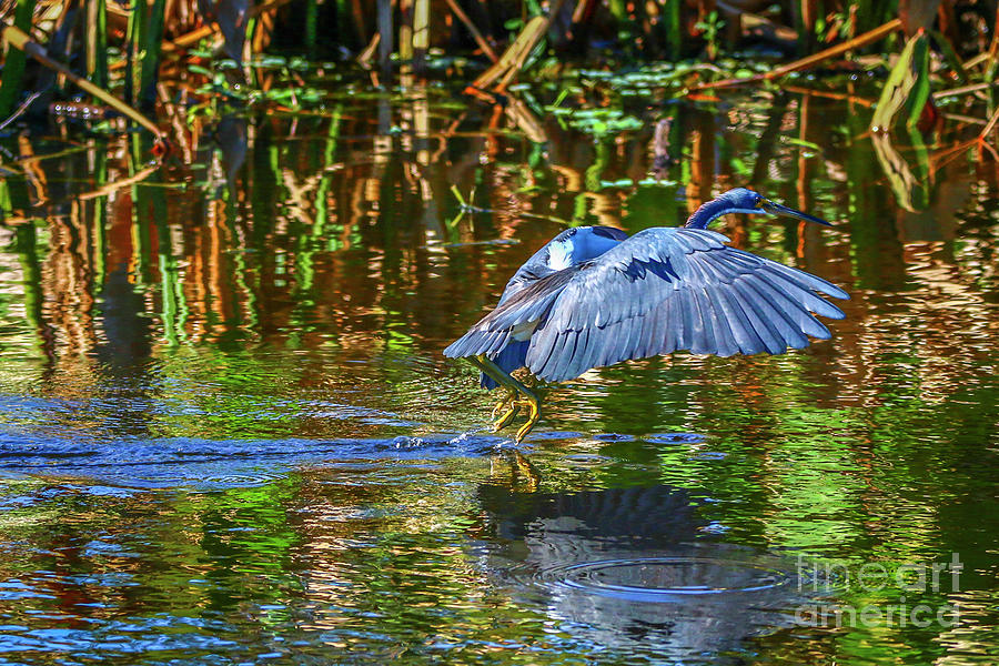 Tricolored Water Take Off by Tom Claud