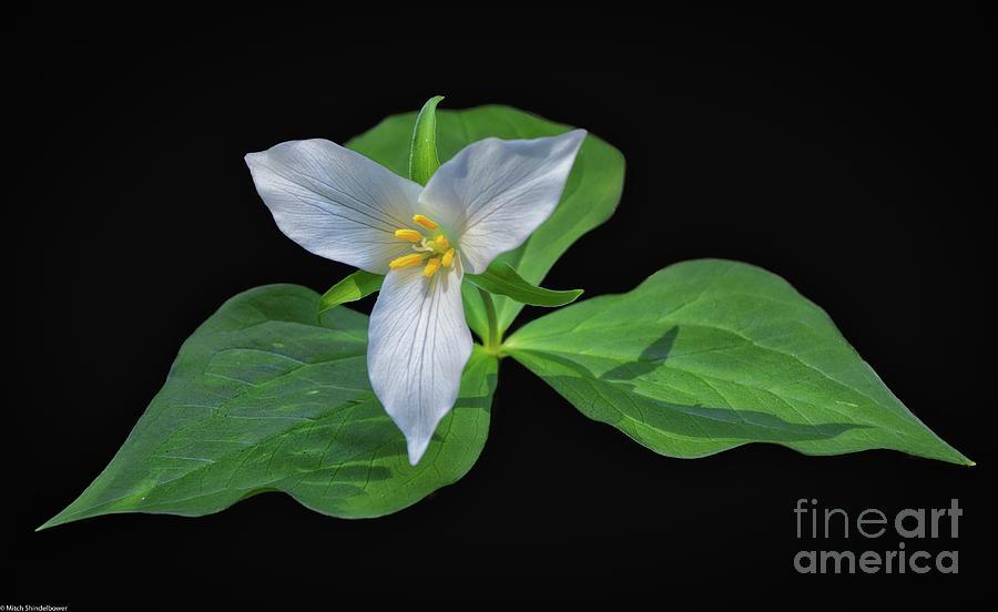 Trillium Flower by Mitch Shindelbower