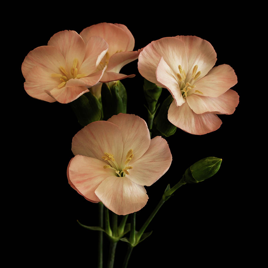 Flowers Photograph - Trio In Pink by Cheryl Day