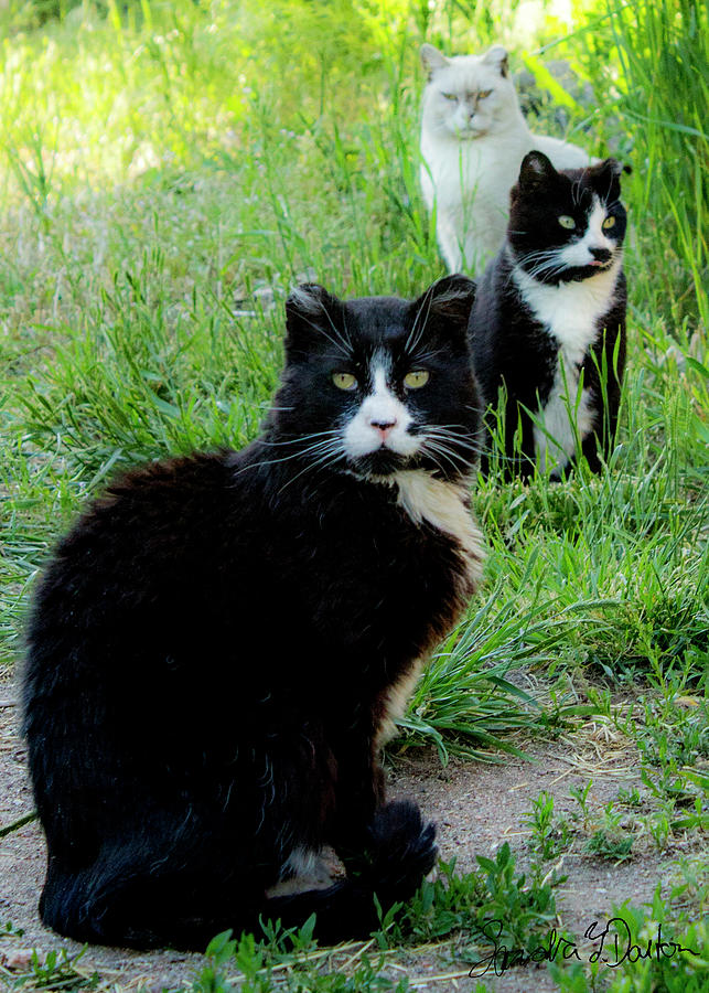 Cats Photograph - Trio In The Grass by Sandra Dalton