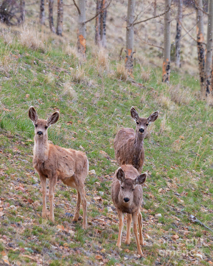 Trio Of Mule Deer Herd On A Snowy Morning Photograph