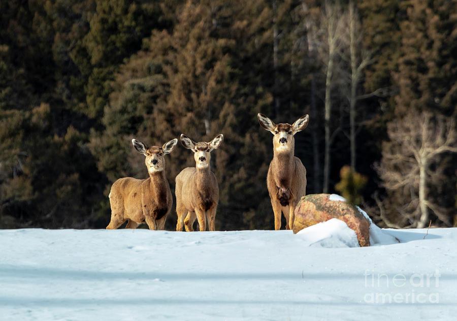 Trio Of Mule Deer In Deep Snow Photograph