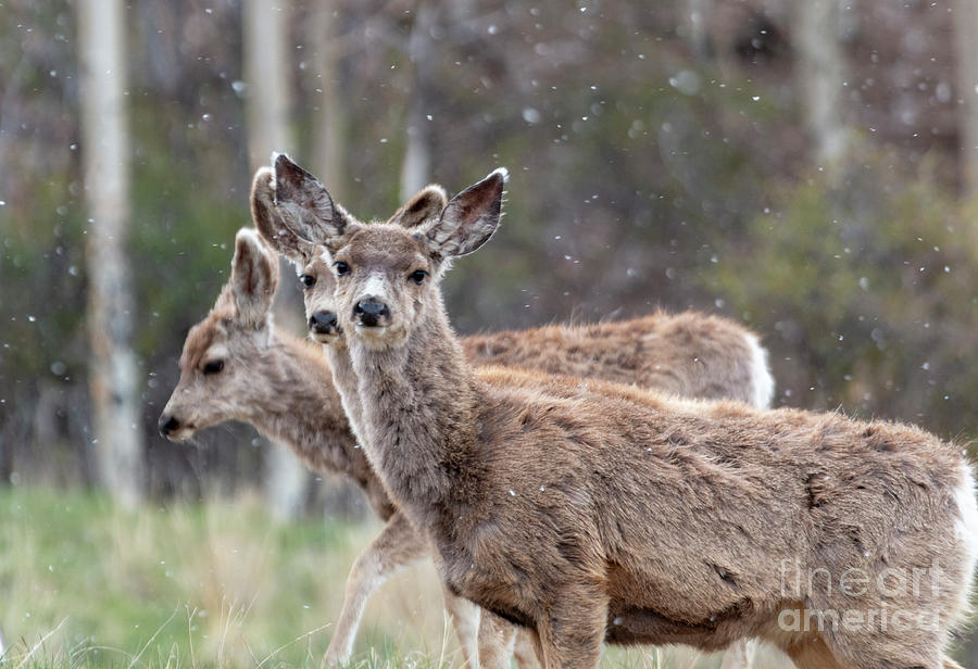 Trio of Mule Deer on a Snowy Morning by Steve Krull