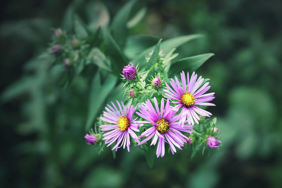 Trio of New England Aster Blooms by Scott Norris