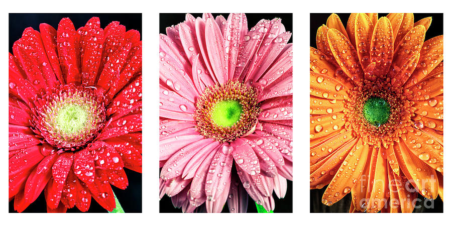 Triptych Daisy Colors by John Rizzuto