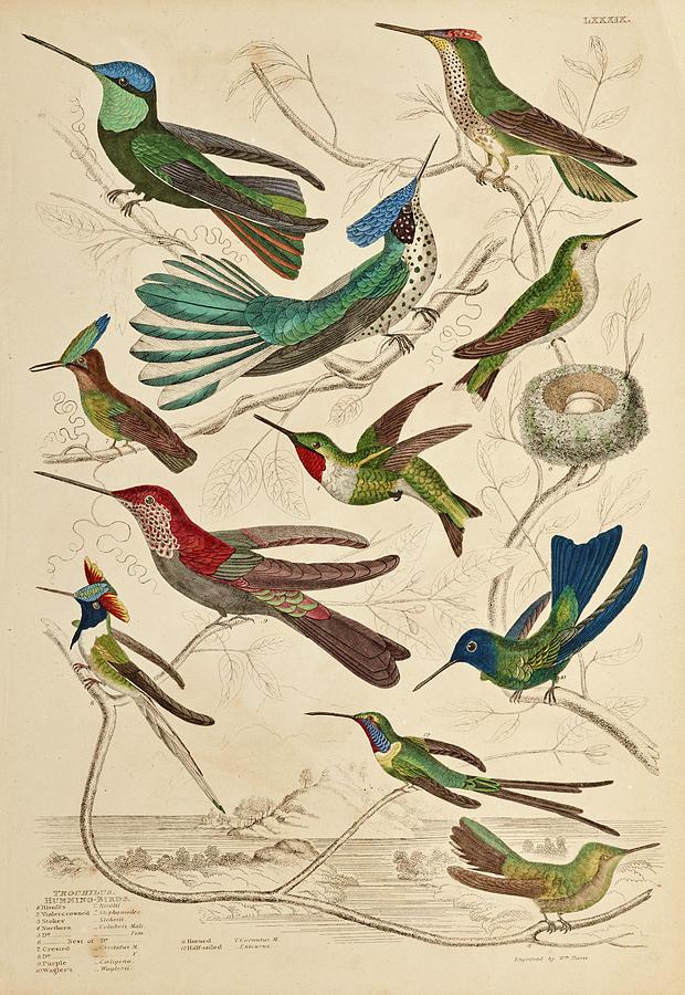 Trochilus Painting - Trochilus - Hummingbirds by William Davis