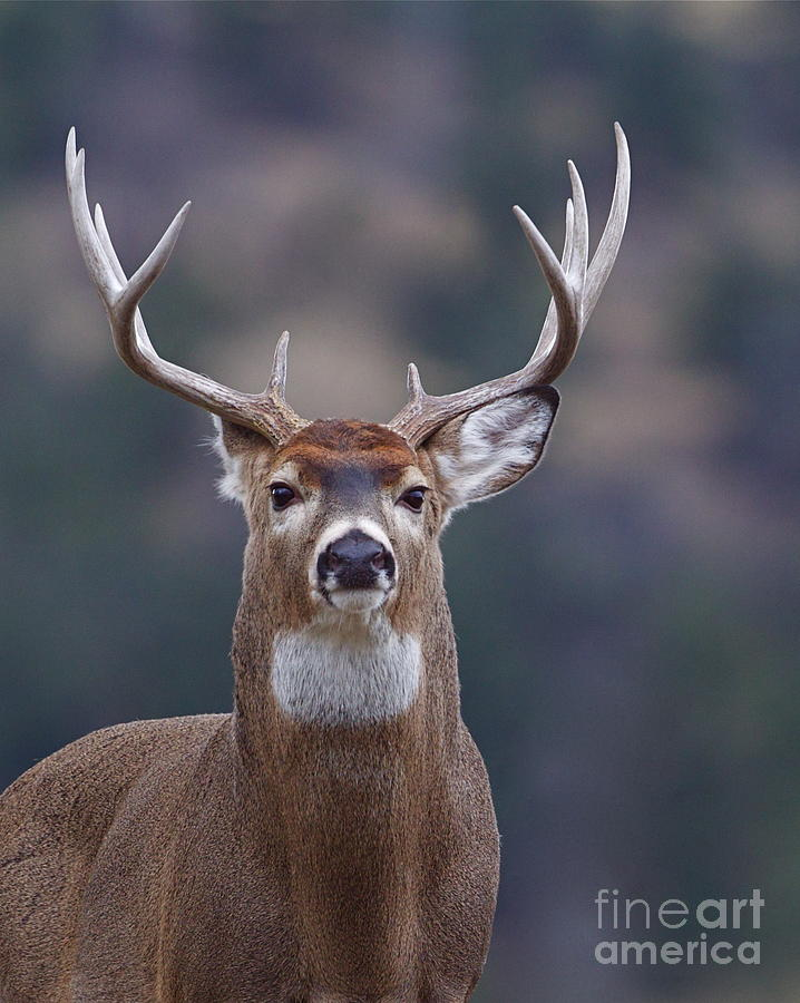 Deer Photograph - Trophy Whitetail Buck Deer, Isolated by Tom Reichner