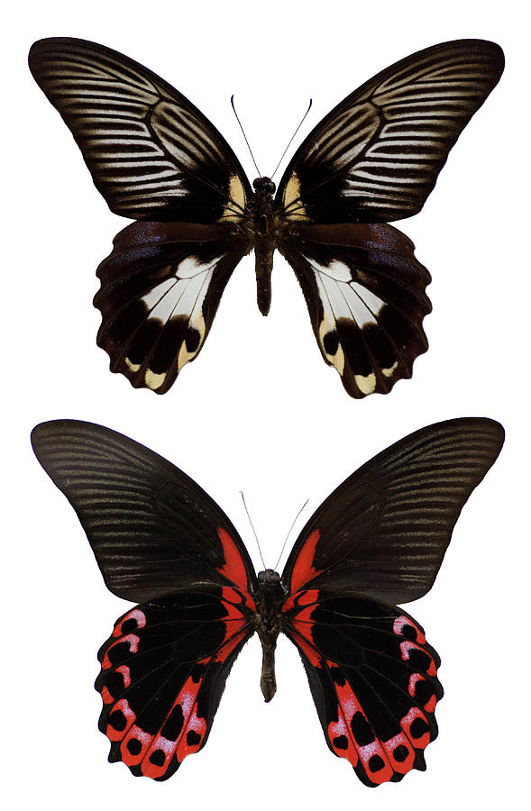 Tropical Butterflies Isolated On White Photograph by Imv