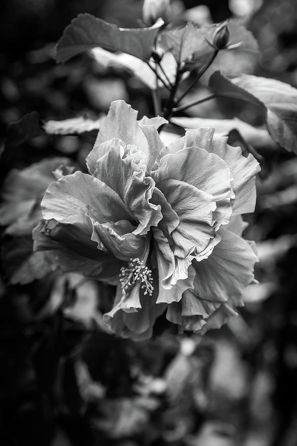 Tropical Hibiscus Black And White Photograph By Georgia Fowler