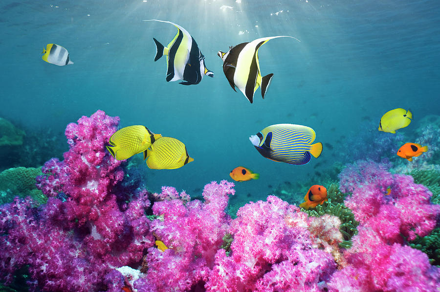 Tropical Reef Fish Over Soft Corals Photograph by Georgette Douwma
