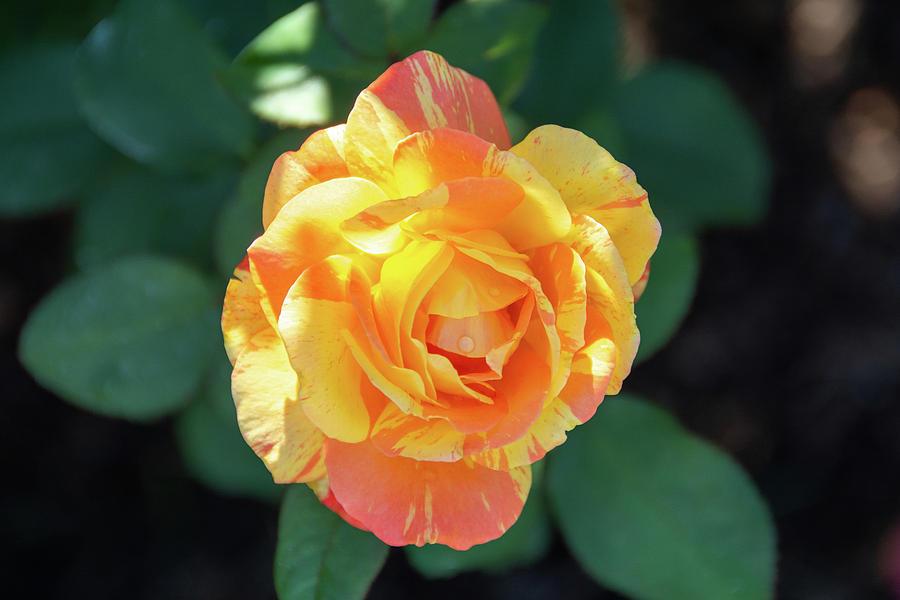 Tropical Sunset Rose Photograph