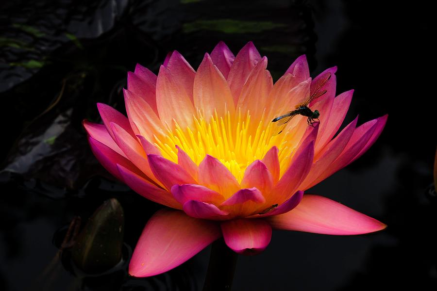 Tropical Water Lily with Dragon Fly by Catherine Trevor-Roberts