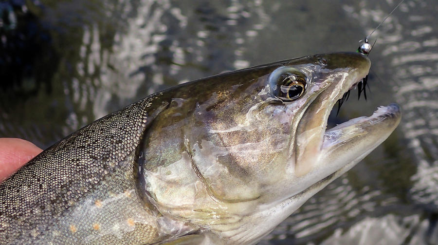 Trout by Philip Rispin