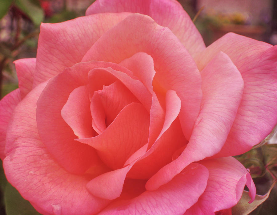 Rose Photograph - Truly Pink  by JAMART Photography