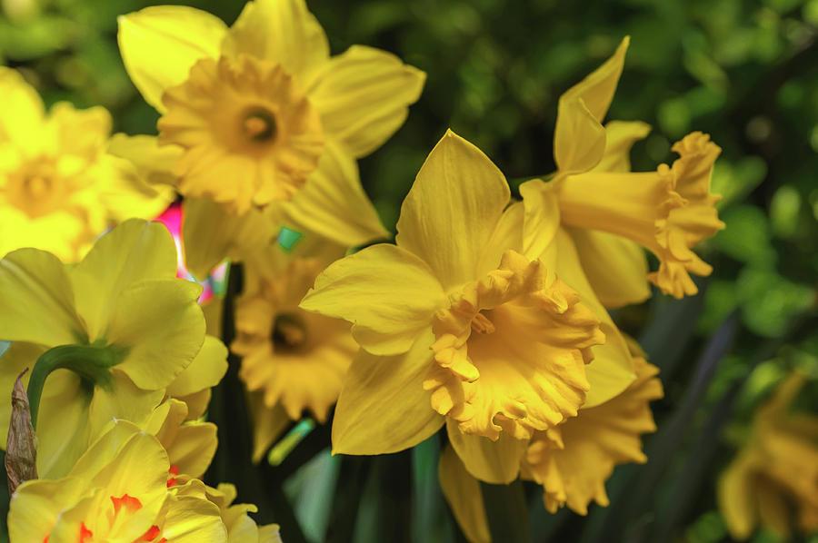 Trumpet Daffodil Golden Harvest by Jenny Rainbow