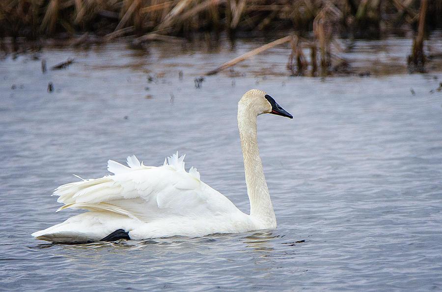 Trumpeter Swan  -  2 by Susan McMenamin