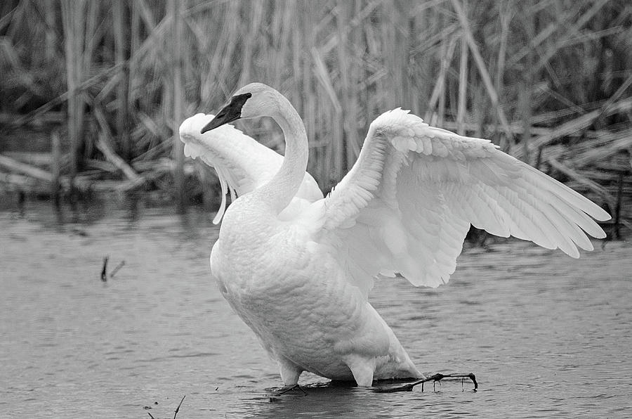 Trumpeter Swan  -  Black and White by Susan McMenamin