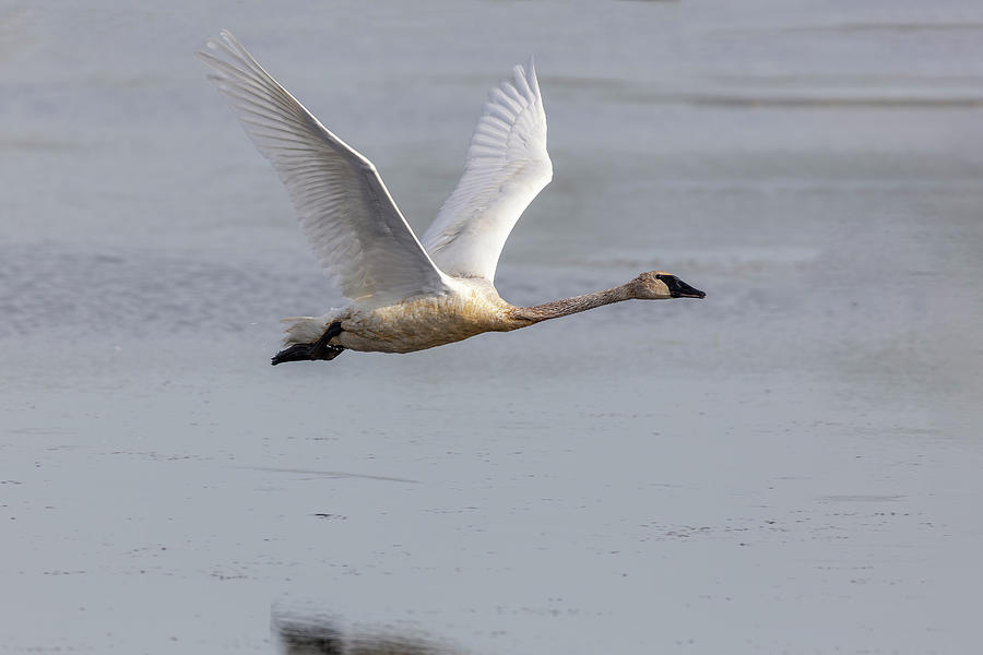 Trumpeter  Swan 2019-1 by Thomas Young