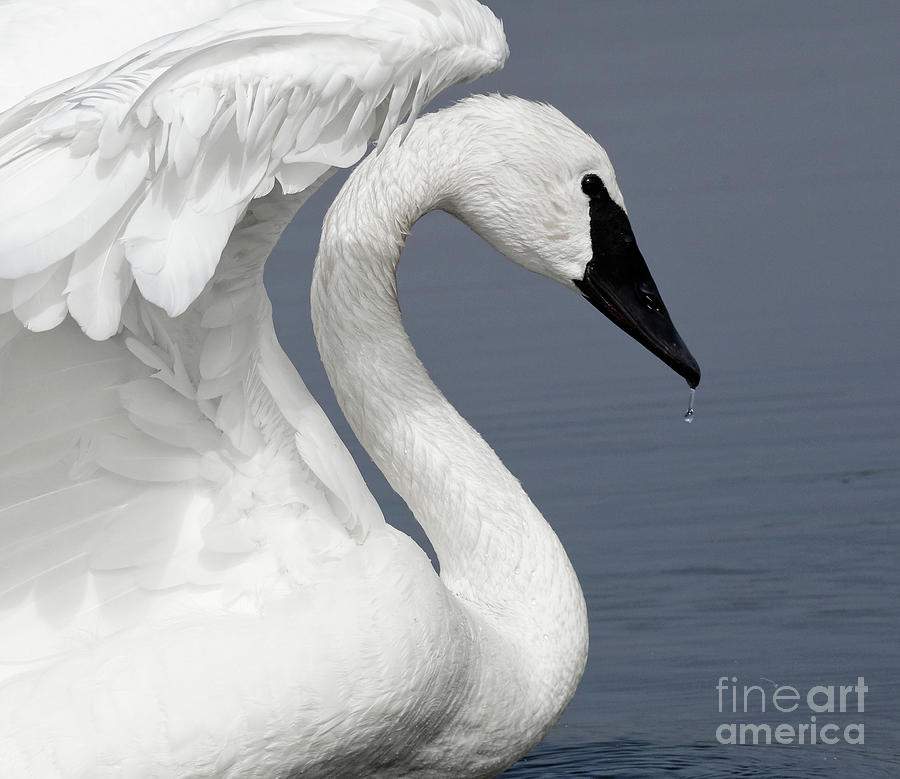 Trumpeter Swan Delight by Sue Harper