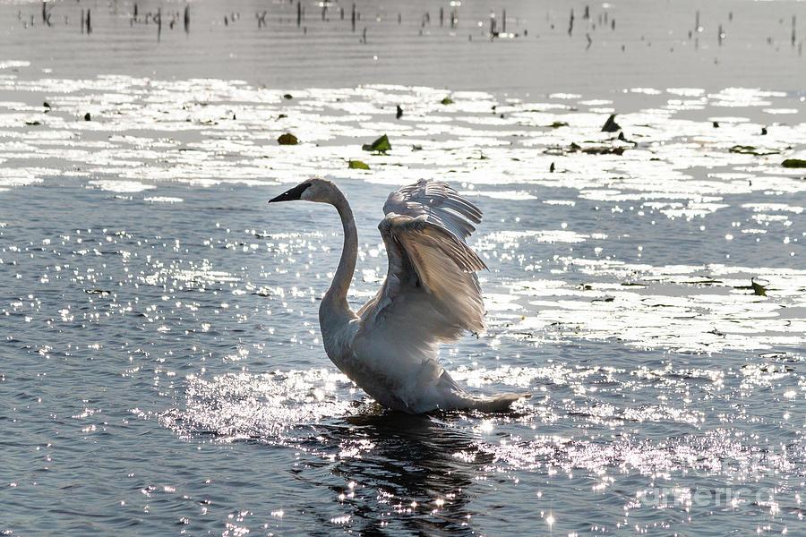 Trumpeter Swan by Sheila Skogen
