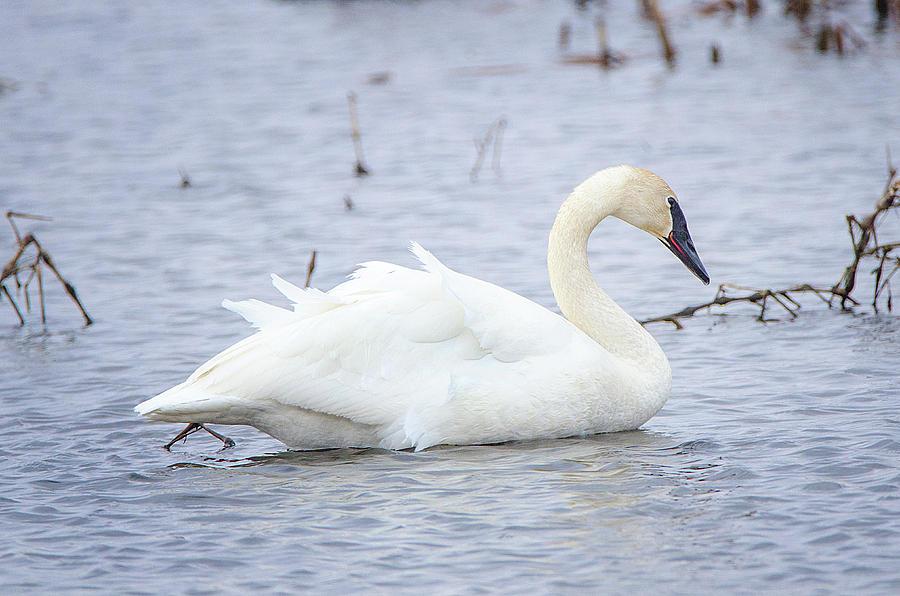 Trumpeter Swan by Susan McMenamin