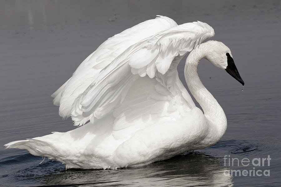 Trumpeter Swan The Dancer by Sue Harper