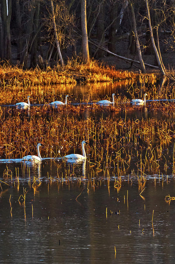 Trumpeter Swans Out For Morning Swim Photograph