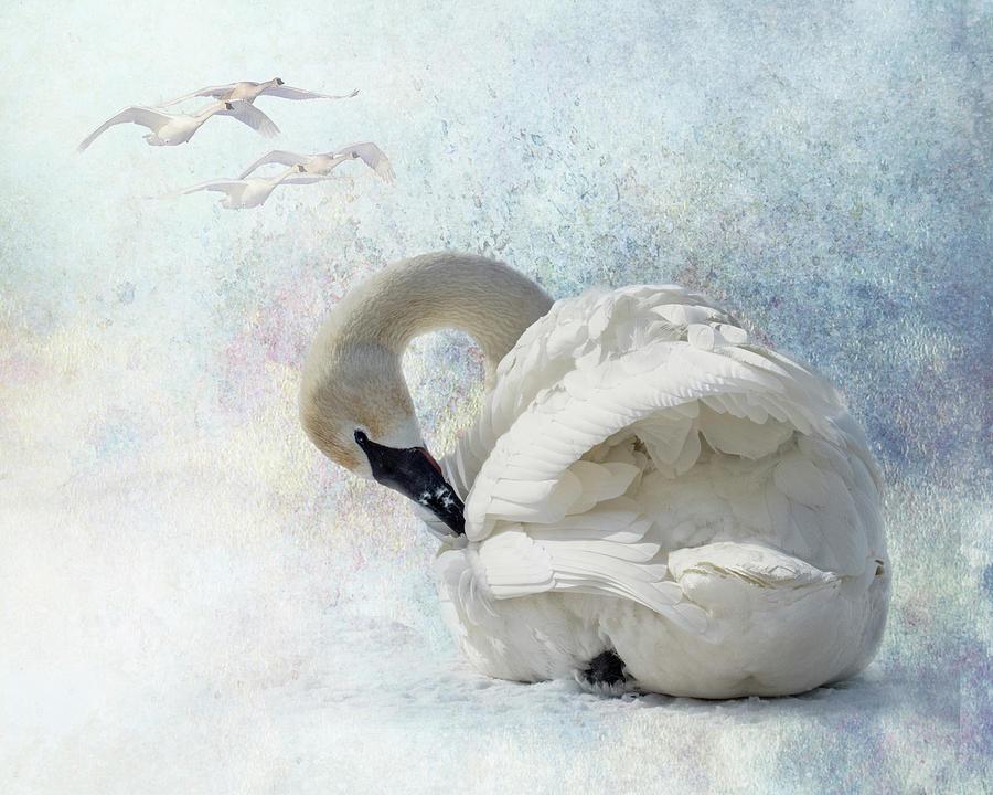 Trumpeter Textures #2 - Swan Preening by Patti Deters