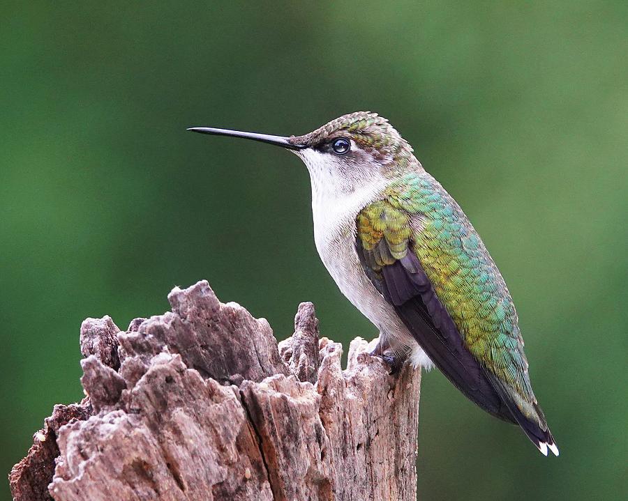 Tubby The Hummingbird Photograph