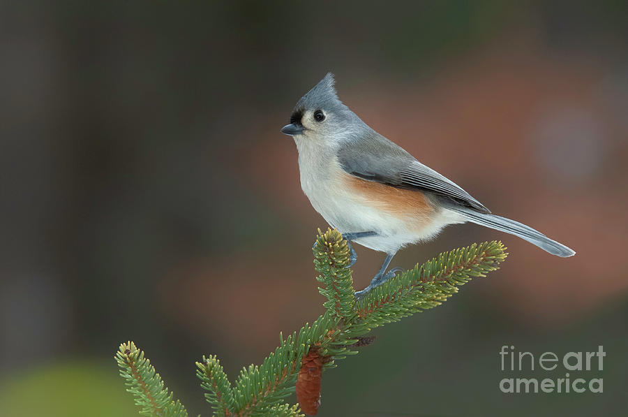 Tufted Titmouse  by Alan Schroeder