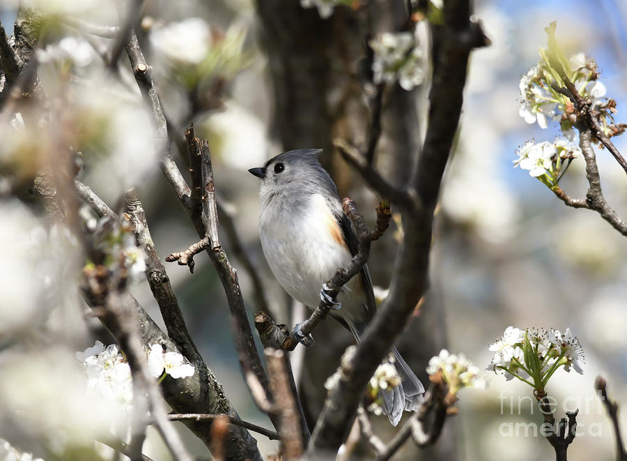 Tufted Titmouse in the Blossoms by Kerri Farley