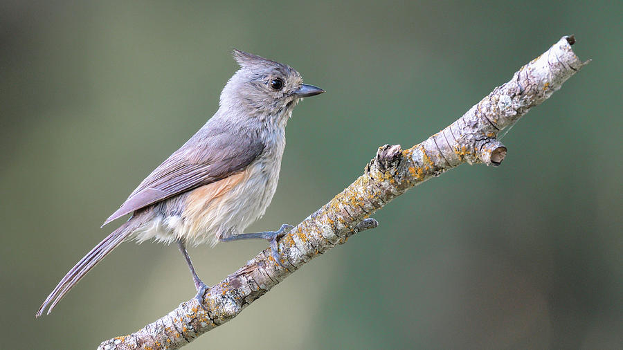 Tufted Titmouse - North American wild songbird by Philip Duff