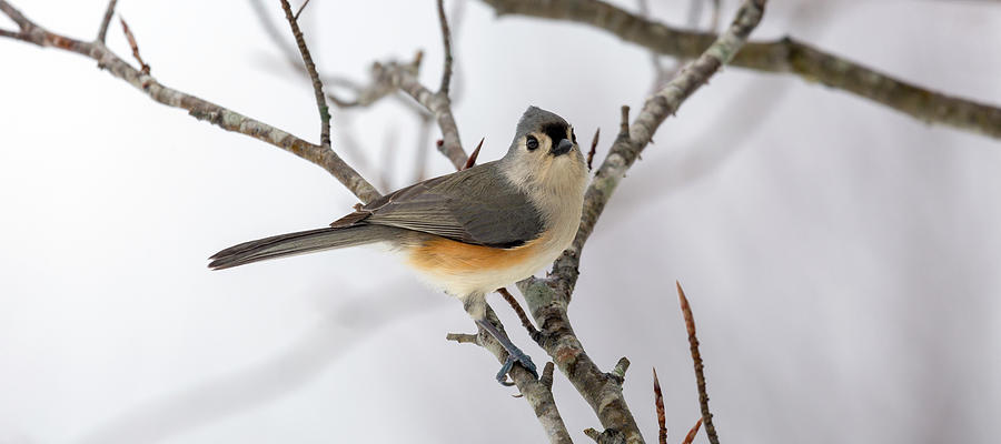 Titmouse Photograph - Tufted Titmouse Winter Tranquility by Betsy Knapp