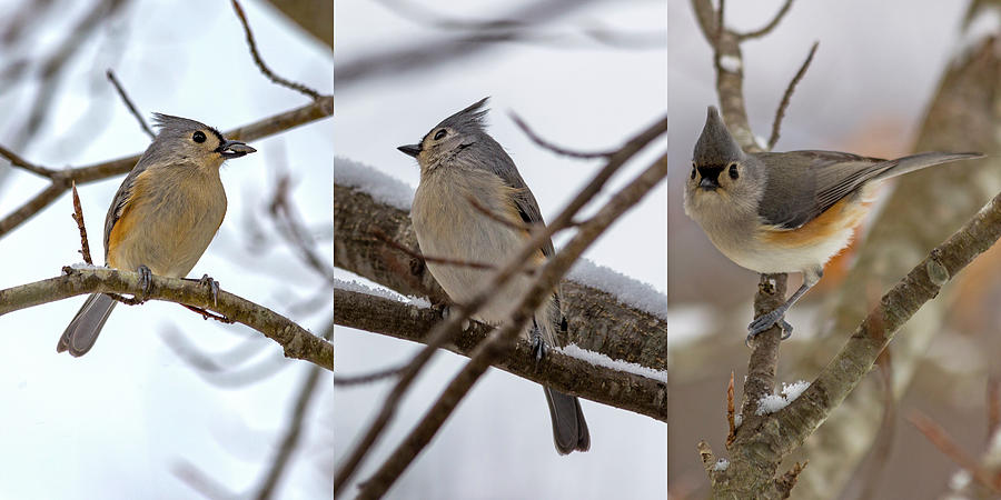 Titmouse Photograph - Tufted Titmouse Wintry Trio by Betsy Knapp