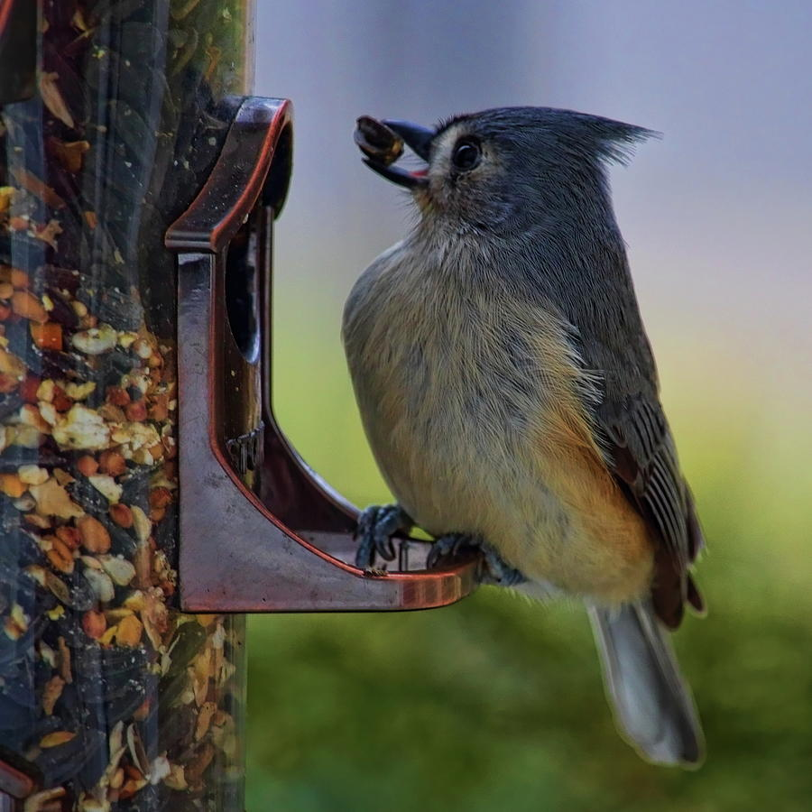 Tufted Titmouse With Seed by Dale Kauzlaric