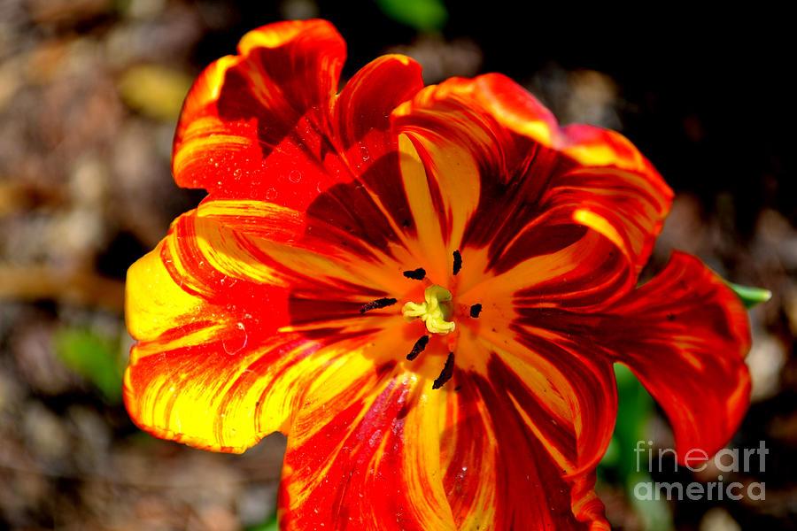tulip 1 by Diane montana Jansson
