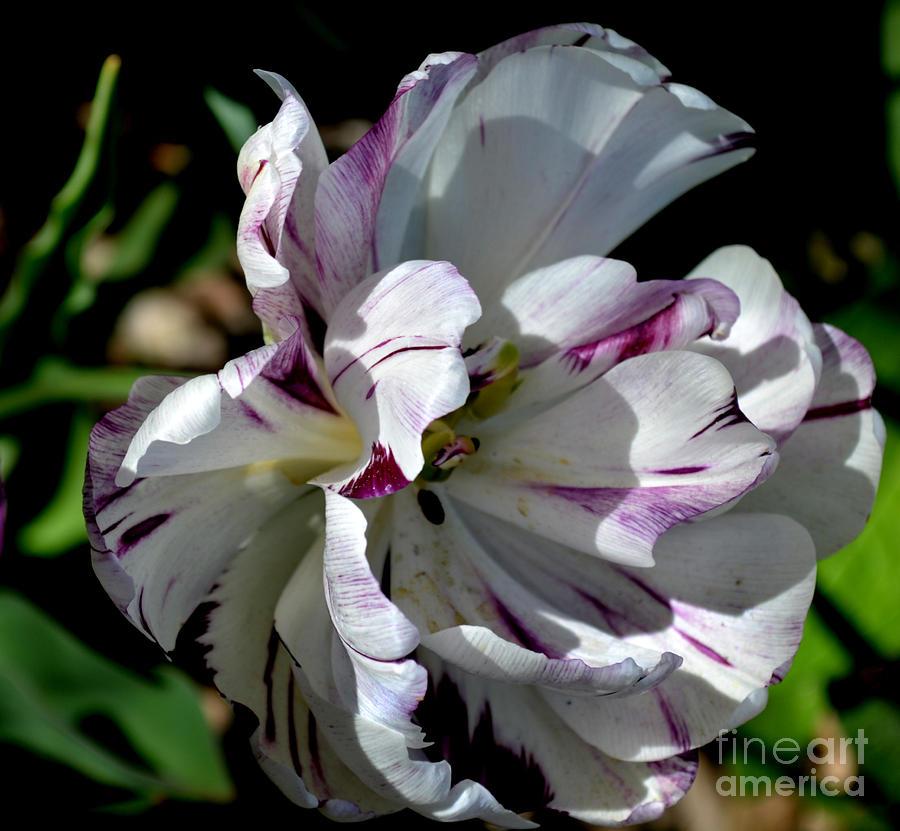 tulip 2 by Diane montana Jansson