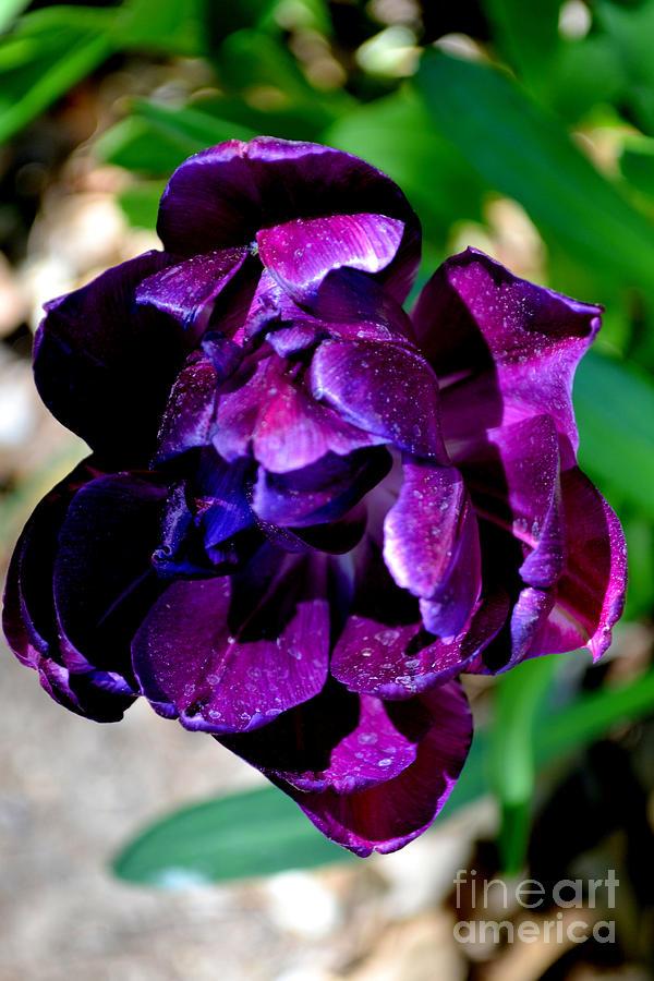 tulip 3 by Diane montana Jansson