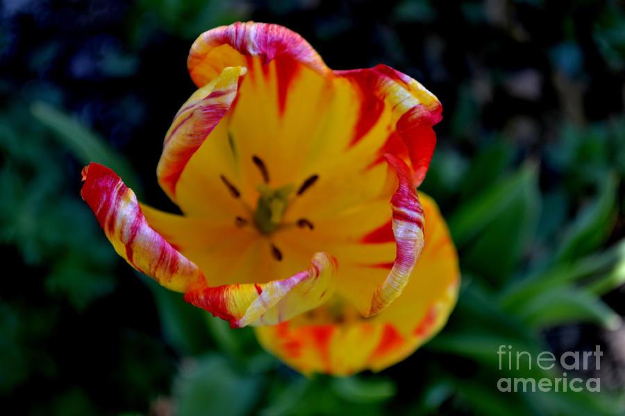 tulip 4 by Diane montana Jansson